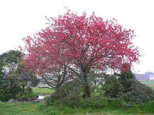 八重咲きハナモモ