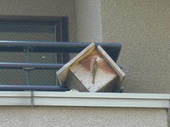 巣作りするスズメ